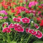 Tuyệt chiêu điều trị tàn nhang từ các loại hoa